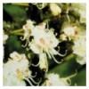 White chestnut (Marronnier blanc)