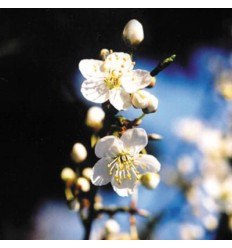 Cherry plum (Prunus)