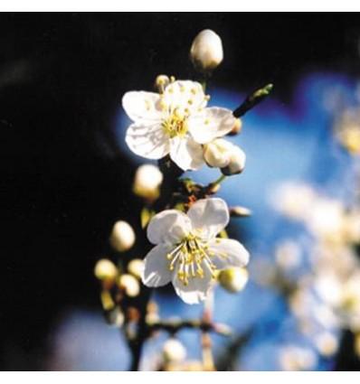 Cherry plum (Prunus)