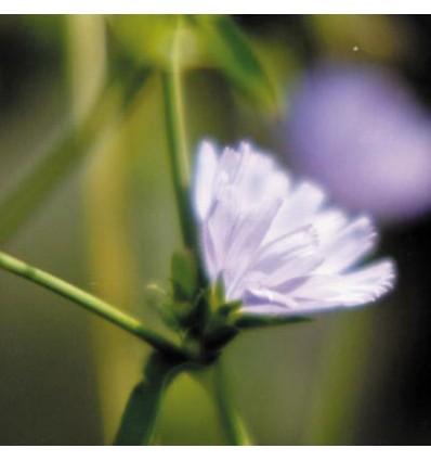 Chicory (Chicorée)