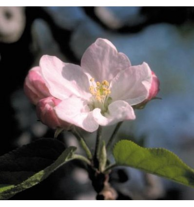 Crab apple (Pomme sauvage)