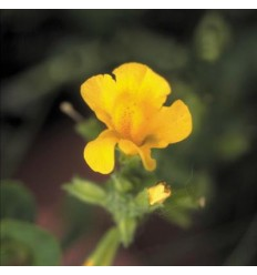 Mimulus (Muscade)