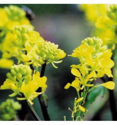 Mustard (Moutarde)