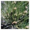 Pine (Pin Sylvestre)